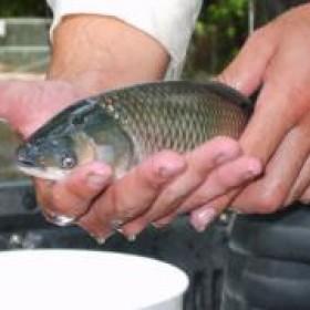 Aquatic Weed Managment - Biological Control