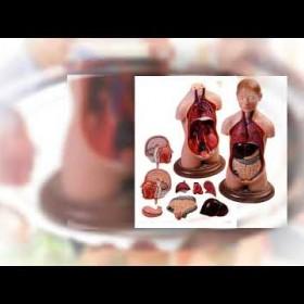 Professional Anatomical Models Distributor