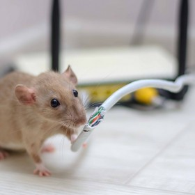 How to Control Mice and Rat Infestations in Your Home